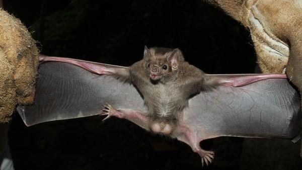 Espécie de morcego que se alimenta de sangue aparece pela primeira vez no Rio Grande do Sul  #G1