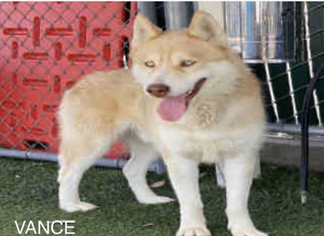 #A5220219 #siberianhusky male 5 years old has been available since May 21 how is that possible he's so adorable Vance needs a loving forever home let's help Vance he's located at a high kill shelter.(626) 962-3577 push 5,2,2 4275 N. Elton St Baldwin park CA, 91706 ♥️♥️♥️