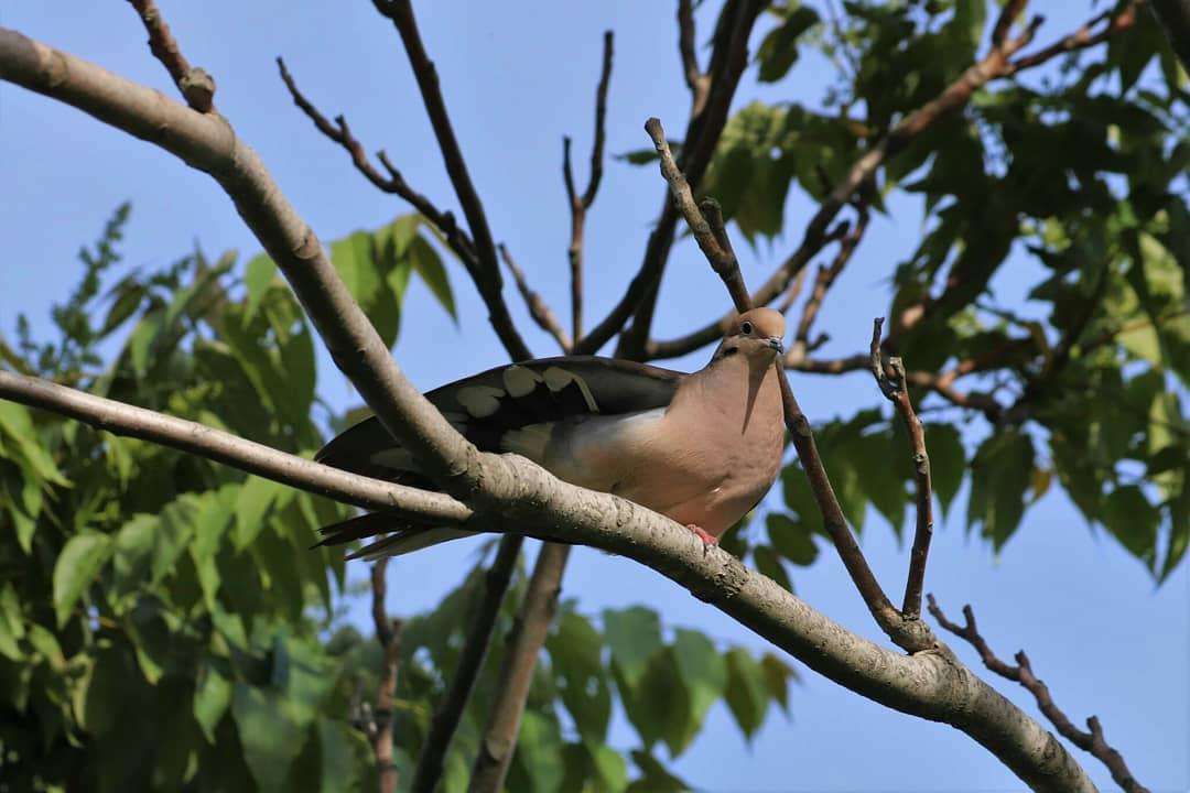 test Twitter Media - Morning Doves can be heard 'perch cooing' as they start the nesting season. This repeated low-pitched coo song is often heard just before dawn and frequently mistaken for an owl calling. https://t.co/ijBDNesEyU