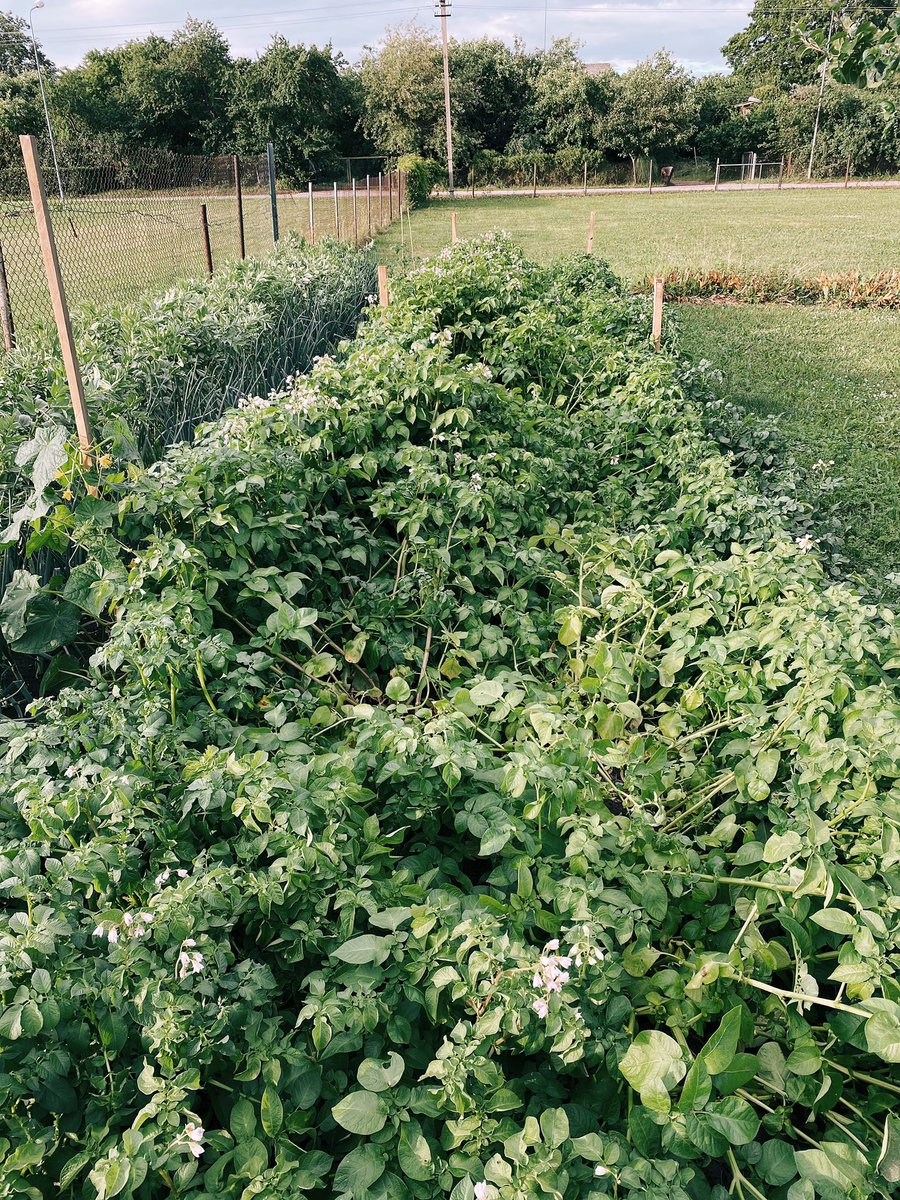 Saņēmos atnākt līdz mazdārziņam. Lietus kartupeļus ir nedaudz papluinījis, cūkupupas šķībākas, bet nav tik traki. https://t.co/1Bgfcu0mJq