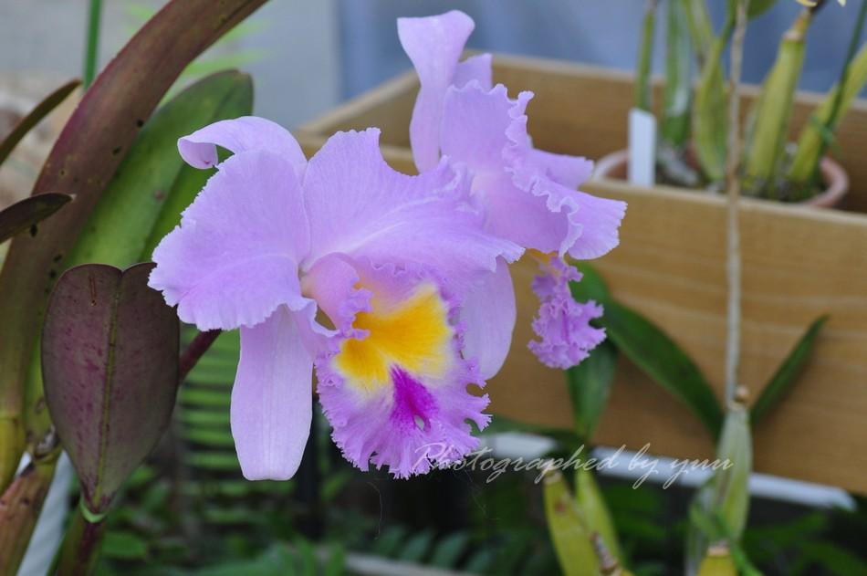 #カトレア #RT歓迎   おはようございます♬  #相互フォロー #蘭 #ラン #写真垢 #相互フォロー支援 #花のある生活  #花のある風景 #相互支援 #植物園 #公園の花 #おはよう #温室 #心 #癒し #綺麗 #雨 #ニコン  #orchid #flower #flowers #nikon