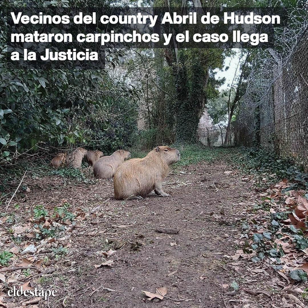 La irresponsabilidad de la administración del country en Berazategui derivó en que un grupo de carpinchos que fueron alojados en el lugar de forma ilegal y después llevados a una reserva natural, ahora mueran asesinados. Lee más en 👉