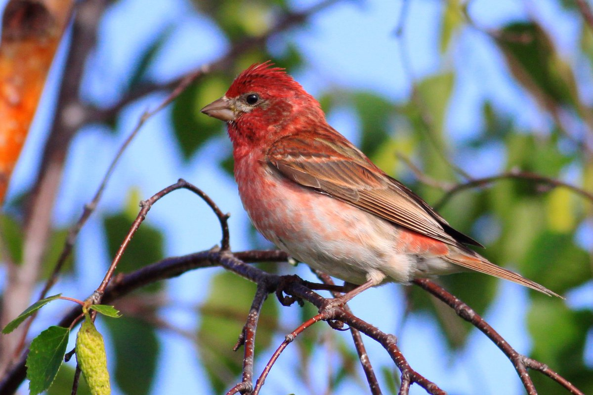 test Twitter Media - Male House Finches are streaked below and have red restricted to the head, chin, throat, chest, and rump, a squared tail, and a bill with a curved culmen. Male Purple Finches are washed in red and have a white belly and no streaks, a short forked tail, and a straight culmen. https://t.co/oxo0D2mzc7