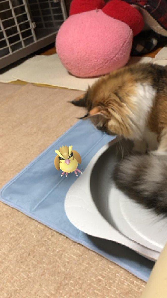 test ツイッターメディア - 久しぶりにポケモンGO起動したらミアの前にポッポいた🤣 ド田舎だから都会で出るようなポケモンは出ないという😅  #猫 #癒し #猫好き #猫のいる幸せ #猫のいる生活 #猫のいる暮らし #猫好きさんと繋がりたい #ノルウェージャンフォレストキャット https://t.co/PTYcMjDY5e