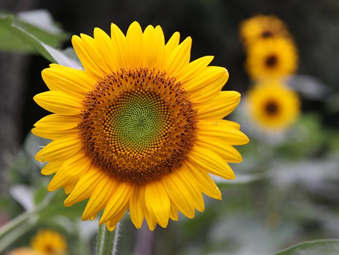 test ツイッターメディア - きっと多分、そろそろ晴れるのだ。それじゃあ、晴れを祈願して向日葵について語ろうと思うのだ!  向日葵はアメリカ大陸からヨーロッパに持ち込まれたお花なのだ!  毎日太陽を向く修正があるので、花言葉があなただけを見つめますなのだな!  なおこの習性は、つぼみのうちだけなのだ!  浮気者!! https://t.co/YpVdj5Tpoh