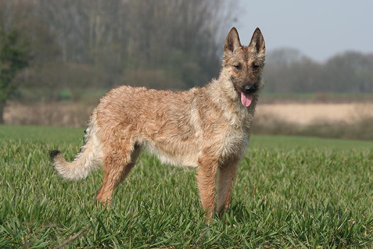 สายพันธุ์ใหม่ที่ทาง AKC ล่าสุด รองรับ Belgian Laekenois อ่านว่า เบลเจี้ยน ลาคอินวาร์ อยู่ในกลุ่ม Belgian Shepherd สายพันธุ์ที่ใช้ในการเฝ้าระวังและต้อนแกะ แต่ด้วยความดีดขั้นสุด เลยเหมาะใช้ในกลุ่มกีฬาหมามากๆ ความหายากของมันคือน่าจะมีอยู่แค่ 1,000 ตัวทั่วโลกเท่านั้น