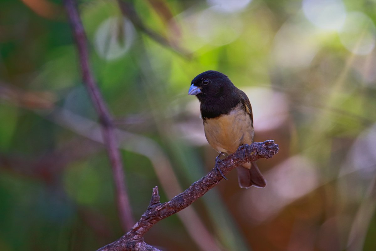 test Twitter Media - Yellow-bellied Seedeater bico de prata / baiano Sporophila nigricollis  #tiny #nigricollis #bird #birding #brasilia #brazil #break #naturallight #naturephotography #silver #songbird #yellow #birdphotography #naturebeautiful #cantori #baiano #tuesdayvibes #TuesdayMotivation https://t.co/nZVZ1L9wJS