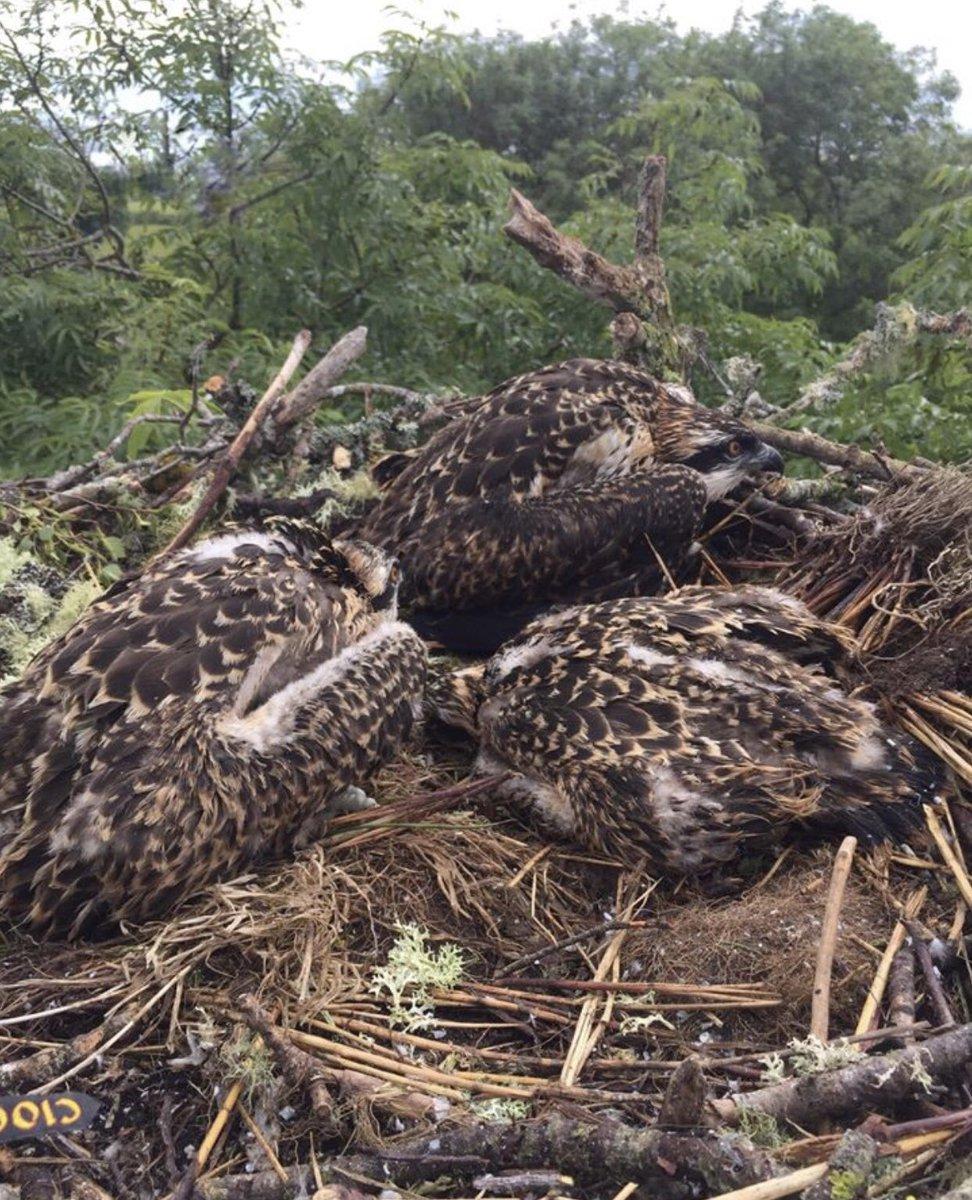 Fantastic News... 3 healthy Osprey chicks this year 🦅. #osprey #nature #wildlie #BirdsOfPrey #protection #highlands #scotland #balnagown #ThursdayMotivation @NorthCoast500 @BBCSpringwatch @WildlifeMag @RSPBScotland @ChrisGPackham @VisitScotland @ClanRossUSA @G_RossOfKildary