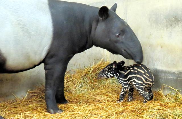 test ツイッターメディア - オリヒメが七夕に赤ちゃん出産 動物園は「奇跡の産物」 https://t.co/KwFkMU5e2Q   絶滅危惧種のマレーバクの赤ちゃんが七夕に誕生しました。東武動物公園から「繁殖」の使命を担って静岡にやってきました。 https://t.co/DP9GyWeNjM