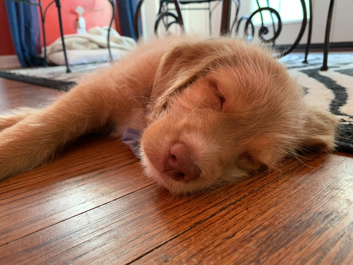 Owen had a good first night. He only whimpered 274 times. No accidents. He's exhausted.  #puppy #labradoodle #dogs