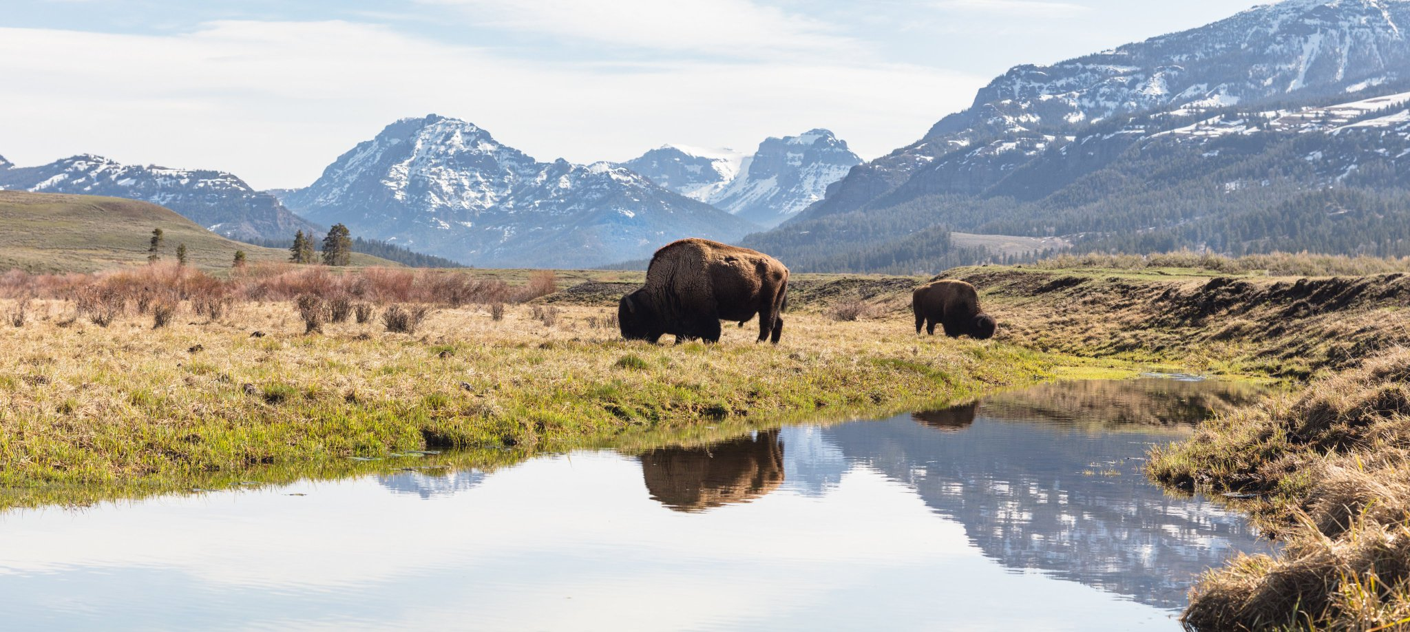 130 years ago today, Wyoming became the 44th state in the Union! Approximately 96% of Yellowstone resides in the state. What are some of your favorite sites to explore in Wyoming?  #WyomingDay  Photo: Bull bison grazing along an ephemeral pool in Lamar Valley https://t.co/z0DfKYaPpz
