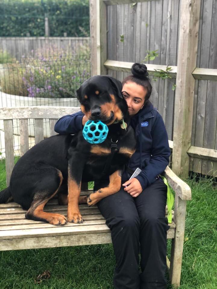 Oh Roco!! You are just too handsome!!  Here is Roco looking very content and happy with one of his best friends Mina at the centre ❤️  *Roco is reserved*  #cdch #adoptdontshop #handsomedog @dogandpuplovers @RottweilerFans #Rottweiler