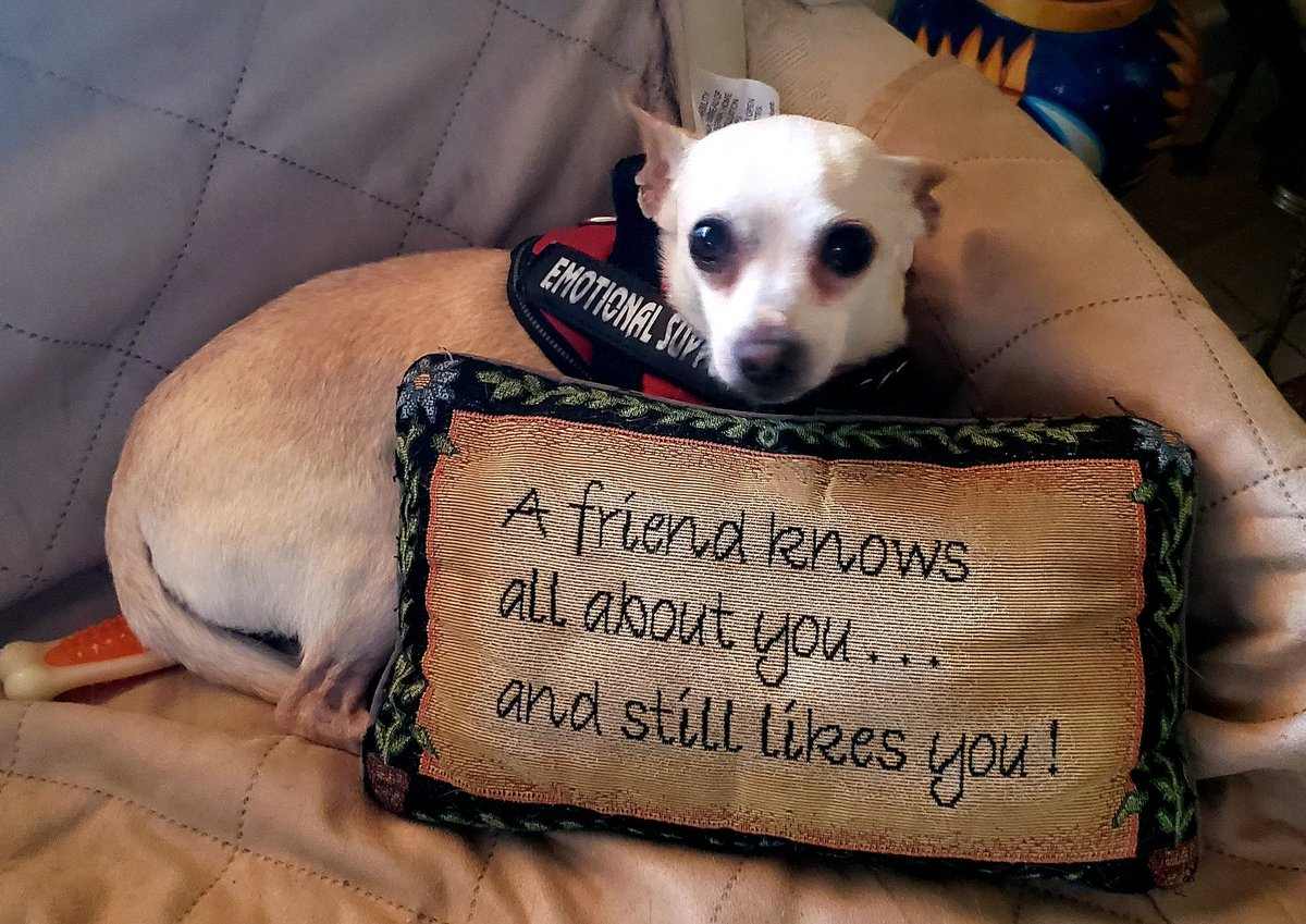 A #friend knows all about you...and still likes you! #dogsoftwitter #Chihuahua
