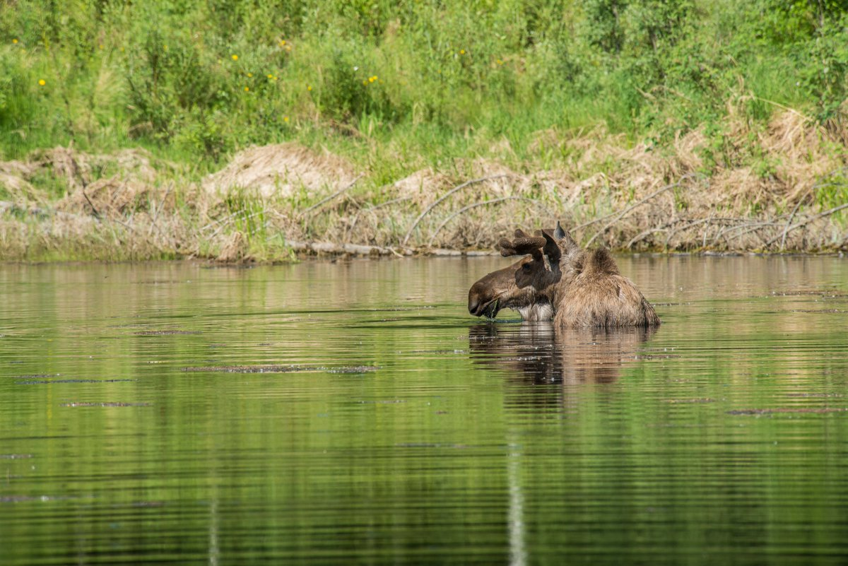 @seldonink @TravelAlaska A7 Take your time—it's not safe to speed through the wilderness or you'll miss a lot of wildlife a few years off the road. Bring a friend—driver's eyes on the road. Think about the animal's habitat. Moose, for example, are in bogs, ponds and clearings. #TravelAlaskaChat