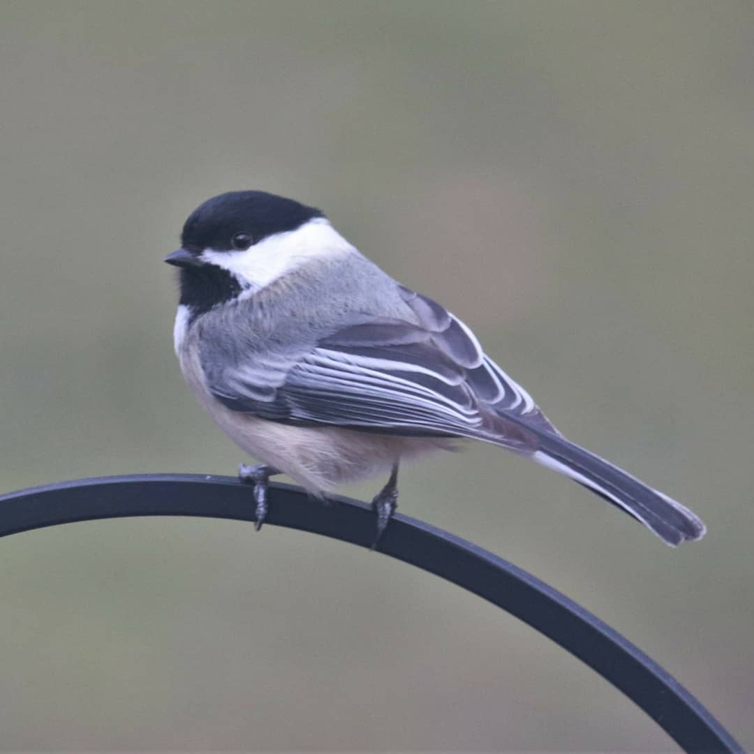 test Twitter Media - With warming weather, Black-capped Chickadees sing their sweet 'fee-bee fee-bee' as they prepare for nesting season. Don't confuse these sweet chickadee songs with the Eastern Phoebe's more emphatic, raspy whistled 'fee-BEE.' https://t.co/WQgwEG2cU3