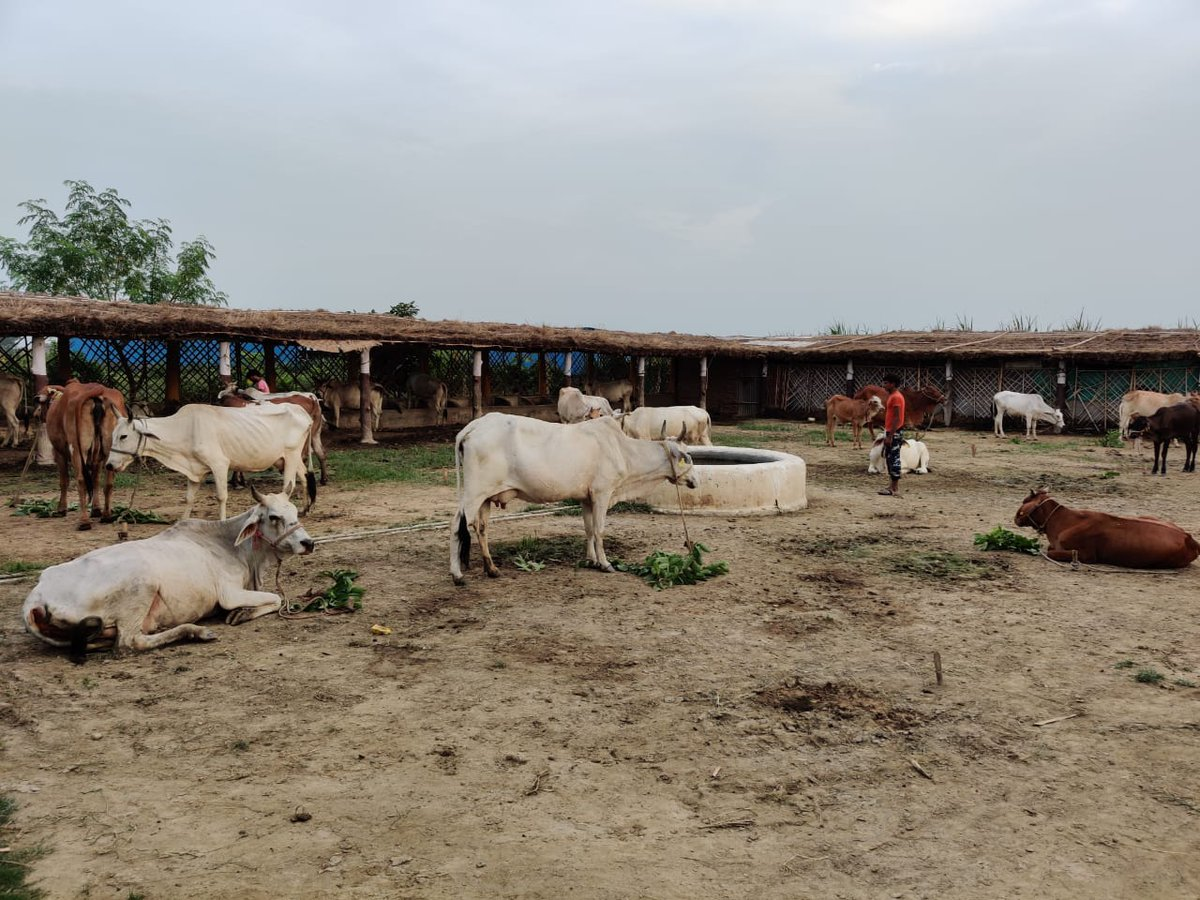 All cows have been brought from villages. Some have been rescued from butchers too. Idea is to protect, rescue & nurture Desi cows with organic farming, & developing the place into self-sustainable center that can sustain even no-milk cows, calves & bulls.