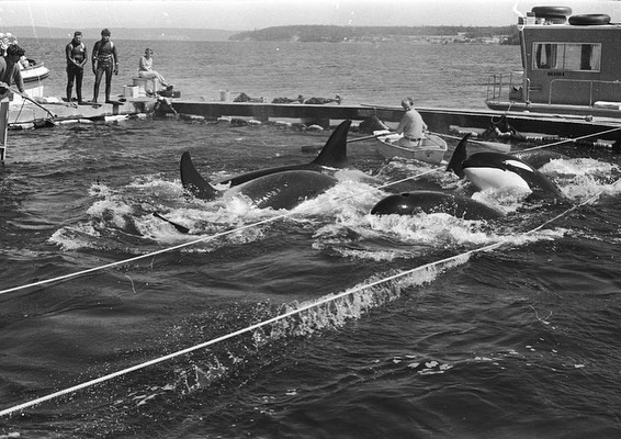 Lolita is the only orca still alive from the Penn Cove captures which occurred 50 years ago today. Spread the word about her #50YearsOfStolenFreedom. Encourage #MiamiSeaquarium to #RetireLolita! Get started:  Photo: Wallie Funk #EmptyTheTanks