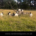 Nice to see the Bagots enjoying the sun after a few days of heavy rain.  #bagotgoats #rarebreedgoats #2020 https://t.co/2nzEDSjcEv