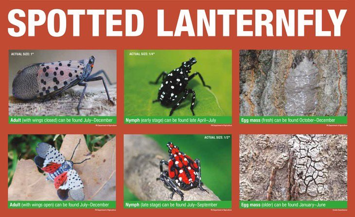We still need your help to reduce the spread of the invasive spotted lanternfly! You may have been noticing nymphs all summer - now they are beginning to enter their adult phase.  For nymphs and adults, terminating them is the best option (a rock or your foot is recommended).