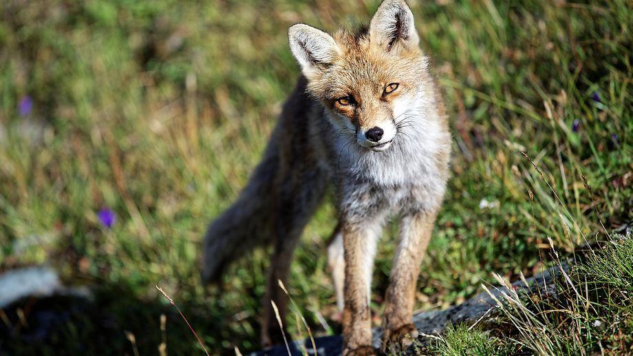 1430 renards doivent être abattus en Seine-Maritime, les associations se mobilisent contre l'arrêté du préfet
