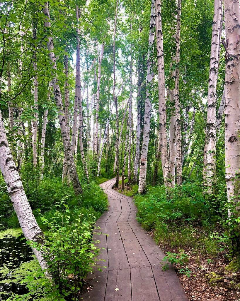 Follow the path through the magical Birch forest 🌿🤍🌿 @alaskareedgeiger  . . . . . #explorefairbanks #alaskatrails #alaskahikes #naturetrails #trailseveryday #explorelocal #beautifulwalk #creamersfield #woodenboardwalk  #birchtrees  #fairbankstrails #fairbanksadventures #suba…