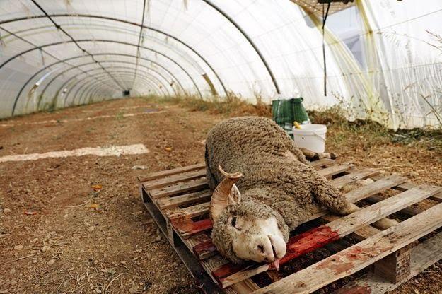 [#AidElKebir] Chaque année, des centaines de milliers de moutons sont égorgés sans insensibilisation au moment des fêtes de l'Aïd.  Une alternative existe, remplacer le sacrifice d'un mouton par un don à une oeuvre de charité !