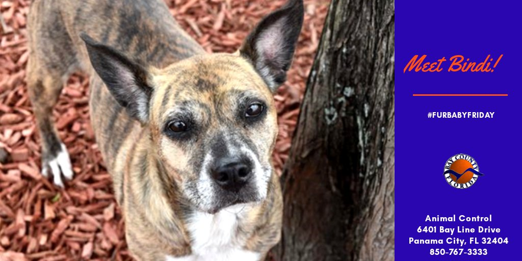 It's #FurbabyFriday! Bindi is a 7yo heartworm neg spayed Feist. Feists originated in N. America hundreds of years ago. Feist breeds were developed to hunt small game and to eliminate vermin.  Weighing just 27 lbs, she's the perfect size for an apartment or small living space.