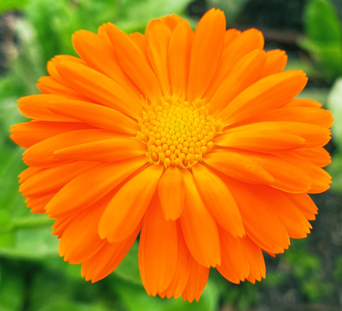 MariGOLD 😁 A flower to brighten anyone's day! #flowers #plants #happy #nature #gardening #orange