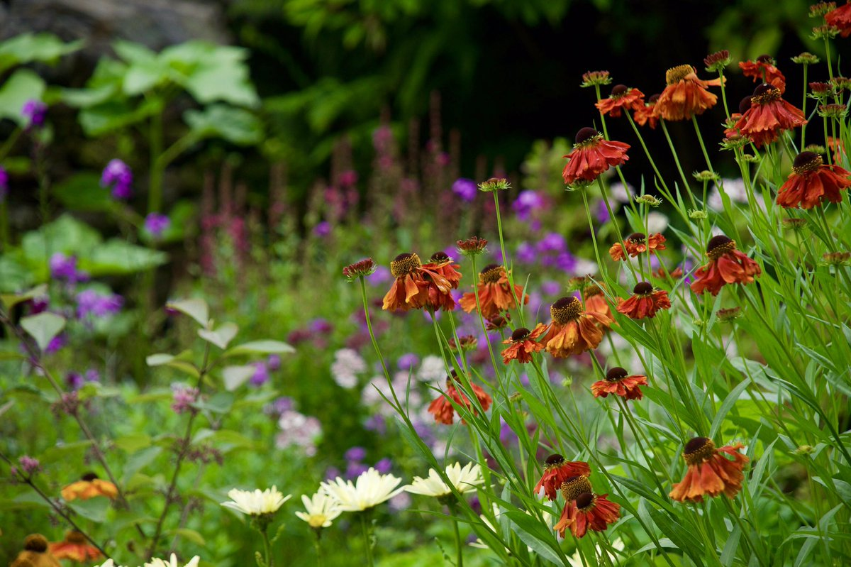 It's the weekend!! Apparently, it's all about heleniums and other plants beginning with h tonight. The perfect opportunity to share some of mine then 😂 #GardenersWorld