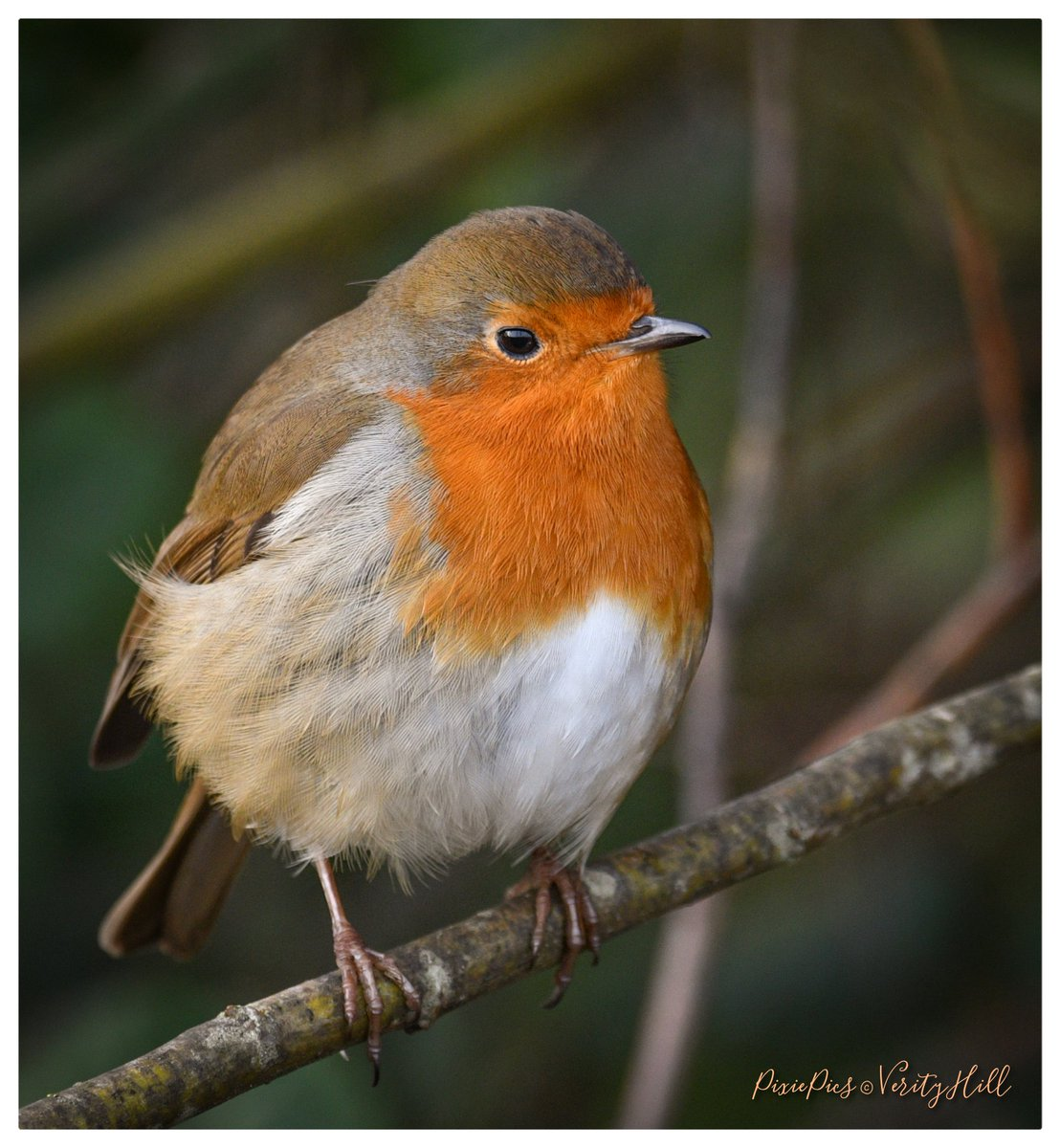 Beautiful Robin - They always brighten the day 🧡🌿😊🐦 #robin #erithacusrubecula #birds #birdlover #birdphotography #birdwatching #bbcWildlifePOTD #bbccountryfilemagpotd
