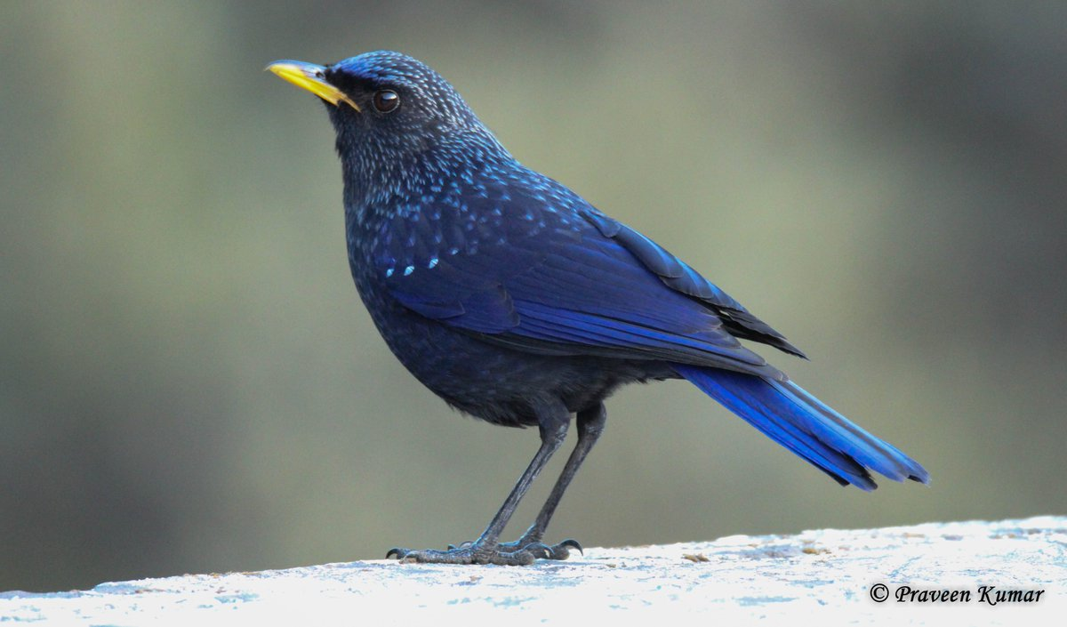 Blue is my favorite color and so are Birds :)  Blue whistling Thrush @ Uttarakhand  True to its name, it does whistle at dawn and dusk. People living in foothills of Himalayas wake-up to its sound.  #birds #birdwatching #nature #bluetwitter @Avibase @ThePhotoHour @BirdWatchingMag