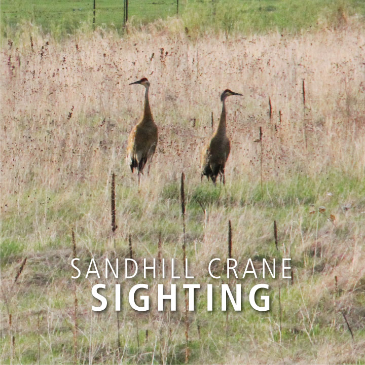 In August, Sandhill crane families begin coming out of their nesting marshes into adjacent hayfield and grasslands for easier sightings.  👀 Have you spotted any sandhill cranes yet?   #anokacountyparks #sandhillcranes