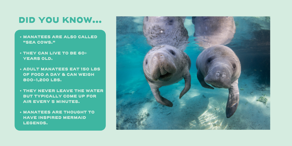 Happy #ManateeMonday! We're pretty obsessed with our Florida manatees, HBU? #LoveFL