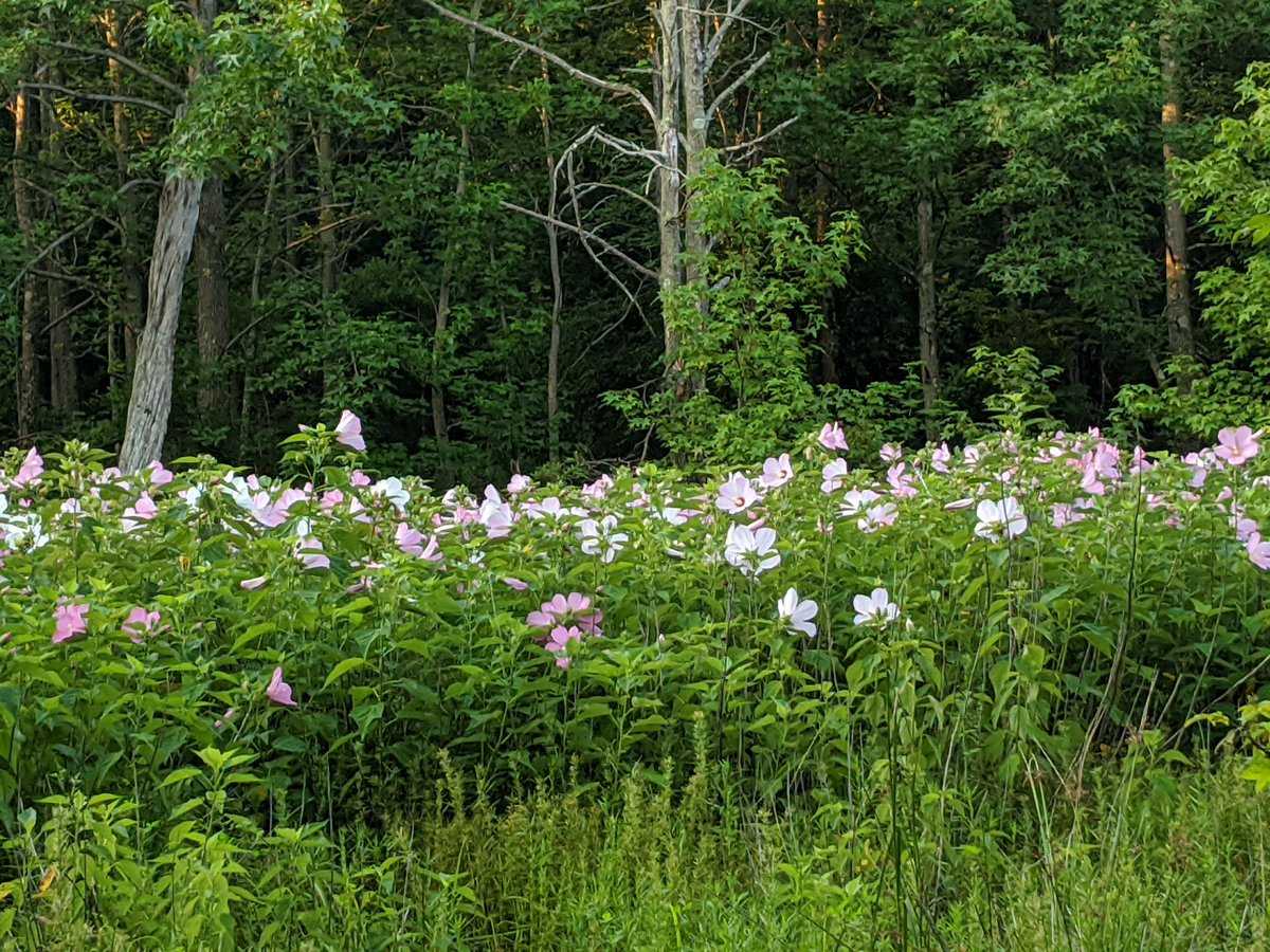Check out these beauties!   This stunning colony of Swamp Rose-mallow (Hibiscus moscheutos) is located just off the lake path in Mercer County Park. It is a native herbaceous perennial, and is found in wetlands and along the edges of rivers, streams, and lakes.