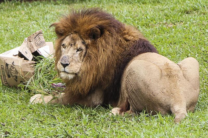 Simba, leão do zoológico de Curitiba, morre aos 18 anos #G1 #G1PR