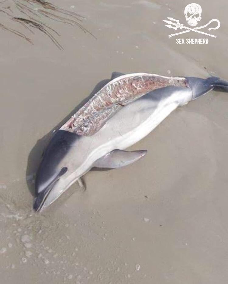 Sauvez les dauphins, laissez leur leurs poissons. Les cadavres de dauphins se multiplient sur nos plages. Celui ci a été rejeté par la mer dimanche soir à LaTorche en Bretagne. Ils étaient trois...  1/3