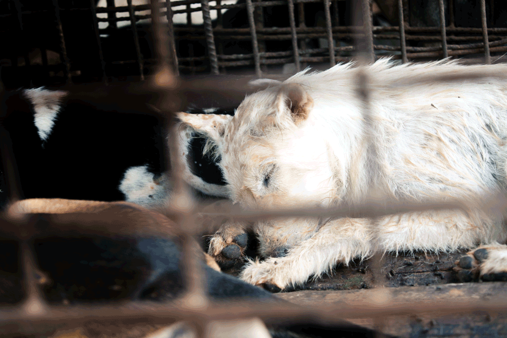 🐕#ProtectMillions🐈 ❗Slaughterhouse shutdown❗ Today is the day! Our team is currently shutting down a dog slaughterhouse located in Kampong Thom, 🇰🇭 Cambodia. A long day lies ahead of us as we have to make sure that all the dogs are taken care off and prepared for transport.