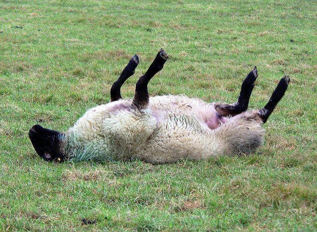 It's very common at various times of year for sheep to get stuck on their backs and not be able to get back up again. This may look amusing to some people or perhaps people just don't understand what is actually happening, but it is often fatal if left. Please get help to them x