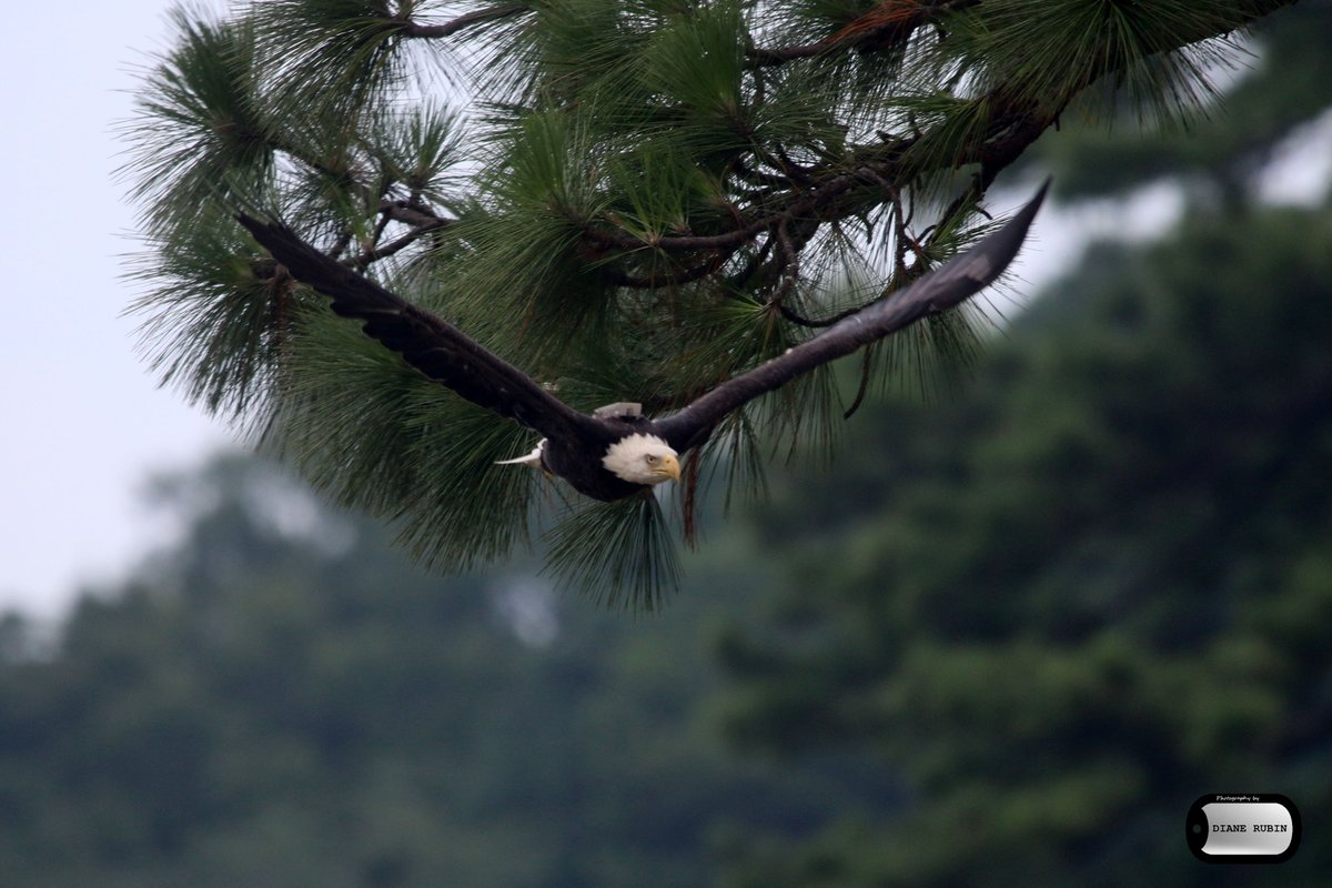 RT @Rudi1031: Eagle at timberneck creek @GloMtwsGJ @gloucesterva @Daily_Press @BirdWatchDaily @bwdmag @VLMuseum