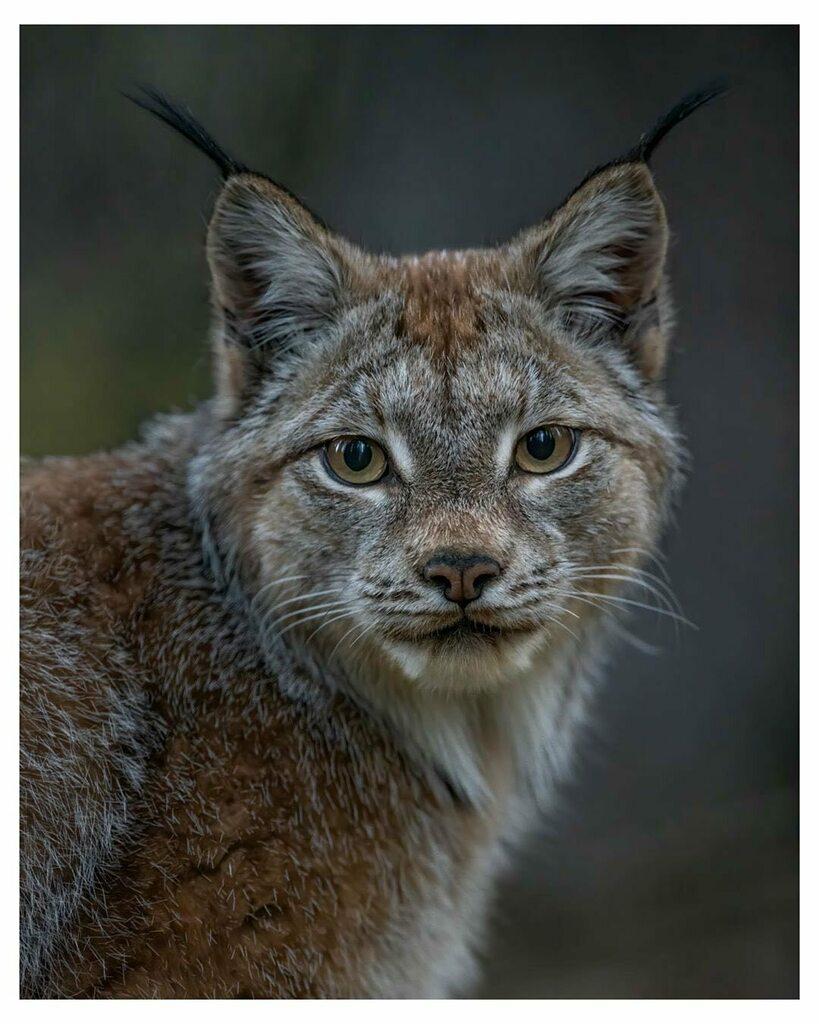 Amazing Alaskan lynx portrait🖤One of the most elusive and beautiful beings in the far north 🙌 Photo by @roxberry_actual . . . . #alaskanlynx #lynx #alaskanwildlife . #interioralaska #lynxcat #fairbanksalaska #alaska  #explorefairbanks #fairbanks #majestic #alaskadream #fairb…