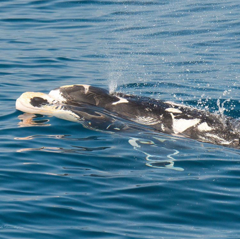 Patches is a wild bottlenose dolphin with uniquely patterned skin, and is often spotted near California. Leucism occasionally occurs in dolphins which causes them to have areas of skin that lack pigment:  Photo by Loriannah H.#DolphinProject #KeepThemWild