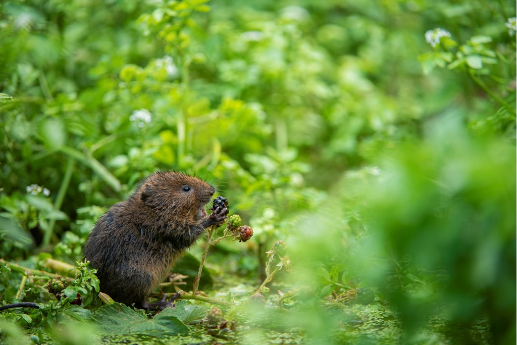 This little water vole has got us excited for our weekend nature plans - how 'berry' nice of them! #FridayFeeling