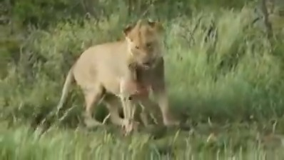 #WorldLionDay has brought forth many facets about #Lions. This video shows soft side of #Lion. Initially chasing a baby Wildebeest, lion has a change of heart & instead of killing, it starts playing with its prey & even protects it from another lion. @dcfsasangir @GujForestDept