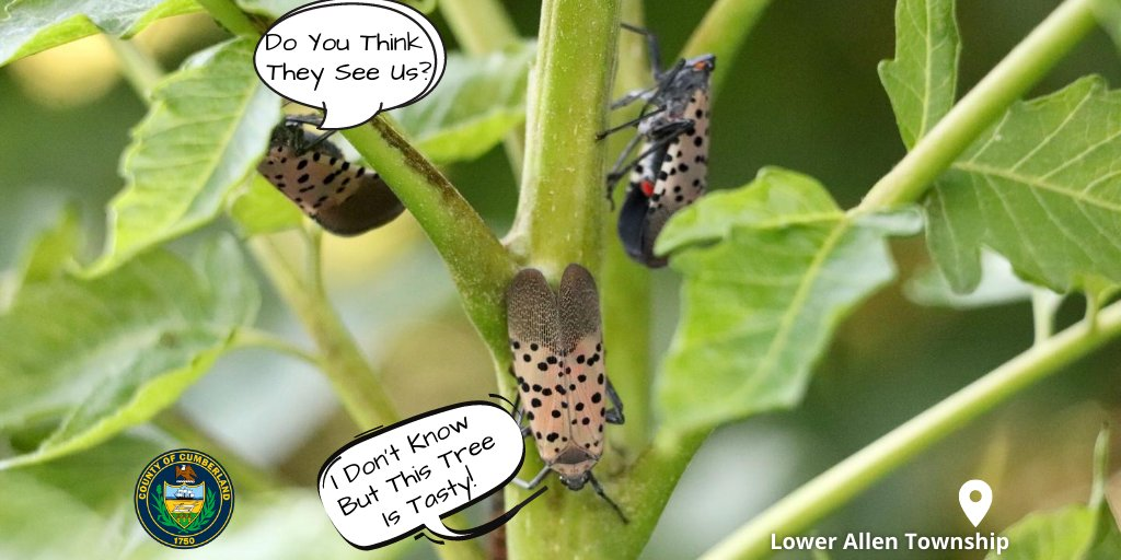 #DidYouKnow: The #SpottedLanternfly Not Only Feeds On The Tree Of Heaven, Maple, Black Walnut, Birch, Willow, And Other Trees. 🌳  Report Sightings ➡️
