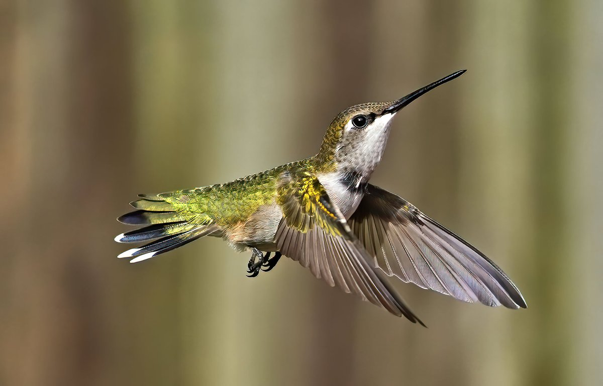 The ruby-throated hummingbird beats its wings about 53 times a second. @CornellBirds  Check out birding locations in Lake Metroparks:  #birding #rubythroatedhummingbird  Photo by Dan Kohler.