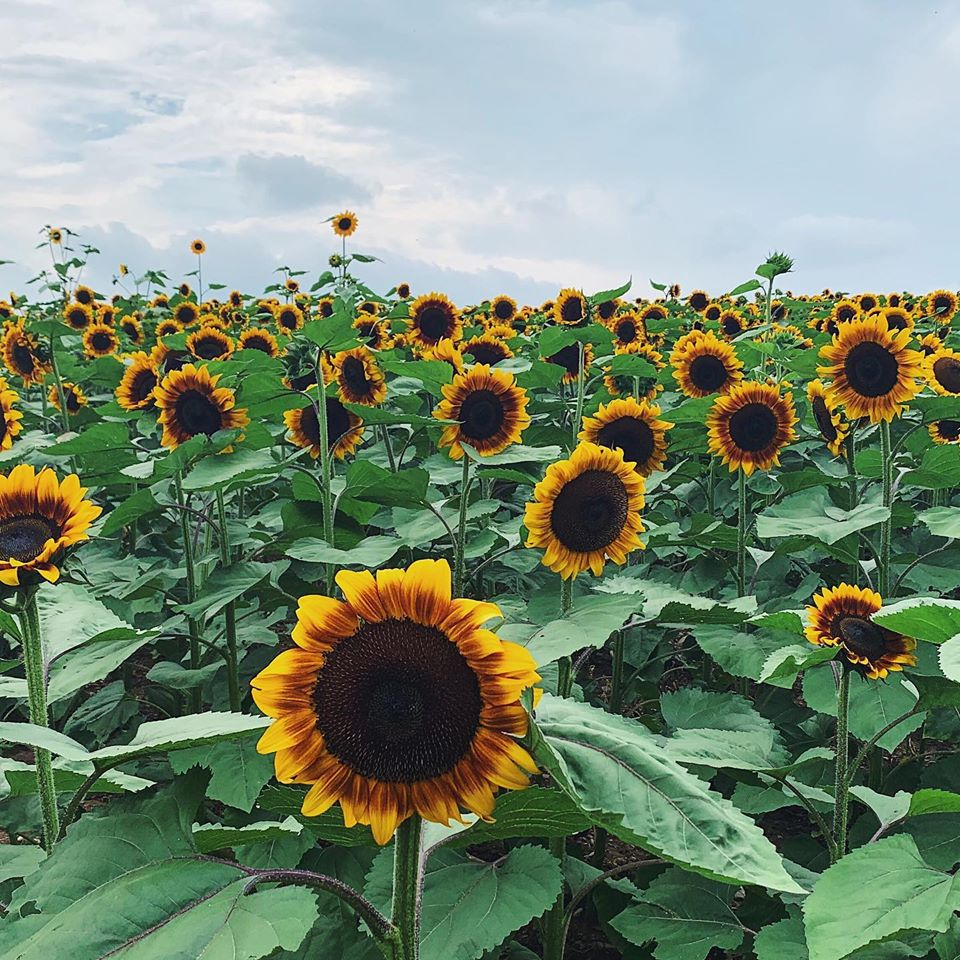Want to find yourself surrounded by beautiful blooming sunflowers?! It's #WhatsHappeningWeds & we're reminding you that this weekend is the 2nd Annual Sunflower Festival at Barton Orchards. Purchase tickets here: