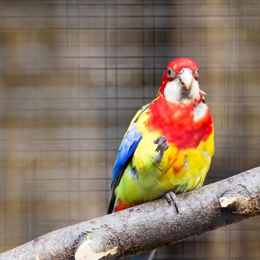 #Heeeyyy The Eastern Rosella, a parrot that is common in Australia and Tasmania, has over 25 calls that they use to communicate with one another. #BringingTheZooToYou  📷Lou Alexander