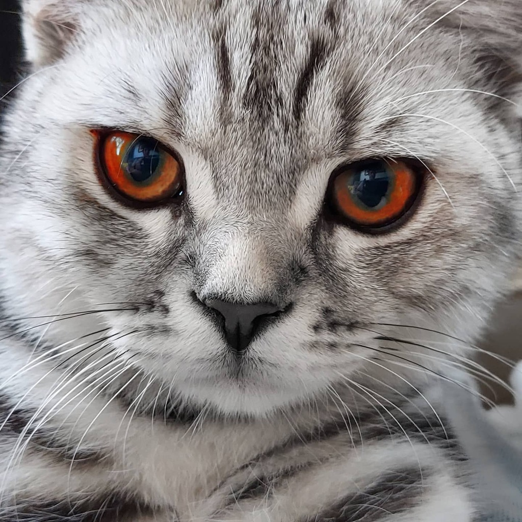test Twitter Media - No longer a cute kitten, but becoming a handsome cat. #catsofinstagram #britishshorthair #loki #boy #stripey https://t.co/fKf21floa3 https://t.co/kHZE3BpUiO