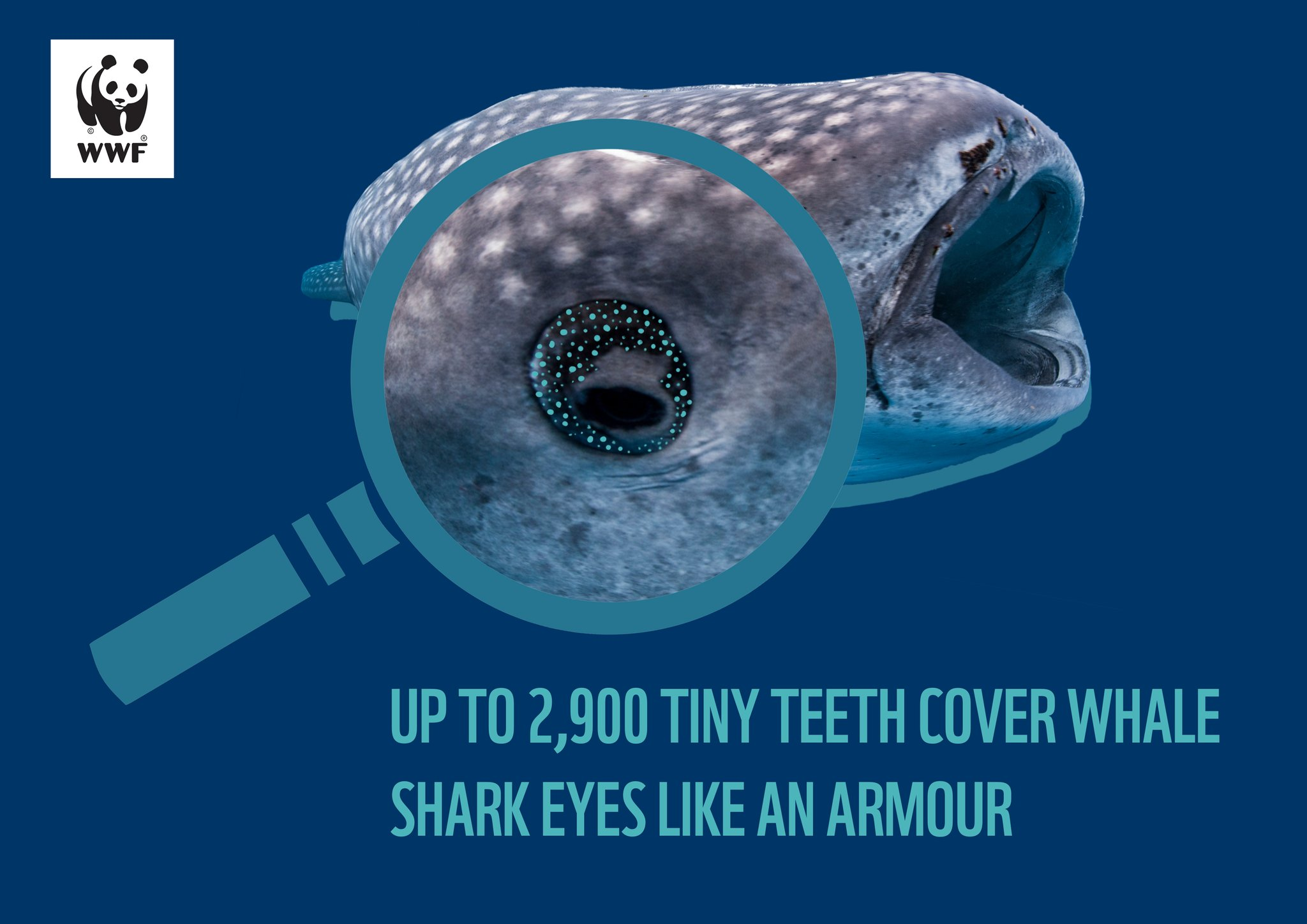 It's #WhaleSharkDay! #DidYouKnow that as many as 2,900 tiny teeth cover each eye of a #WhaleShark? This unique armour protects the eyes of this gentle giant from injuries. https://t.co/5A6scEn3kx