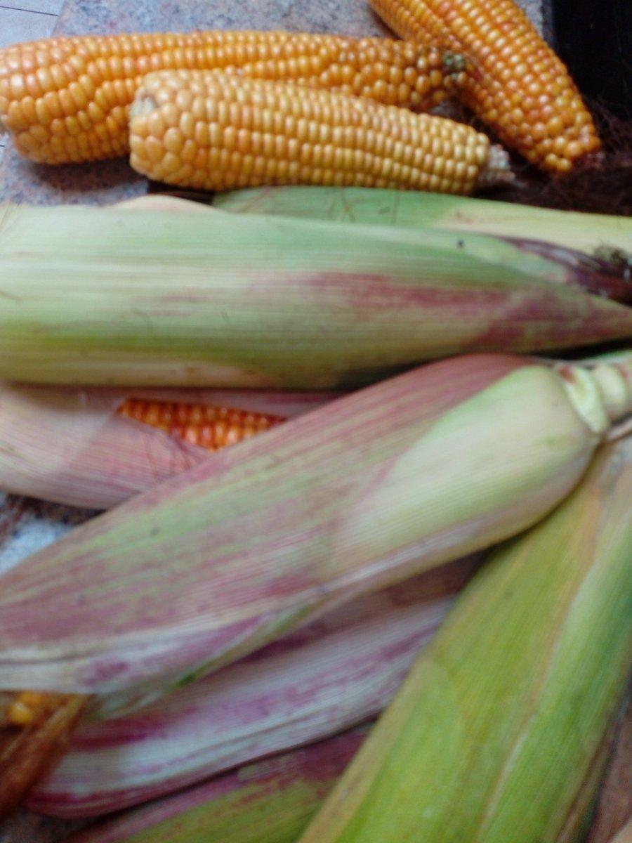 Maize prep for the colder <b>Mont</b>hs ahead ❄😍❤️🎣 #carpfishing https://t.co/t8Bs2gtXuu